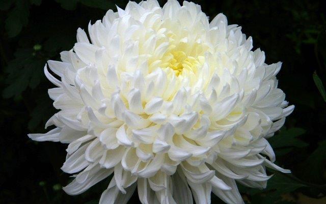 Chrysanthemums Disbud