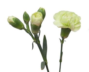 Carnation Spray