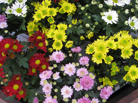 Chrysanthemum Baguley